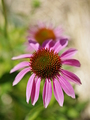 Z bylinkovej záhradky