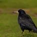 havran čierny - Corvus frugilegu