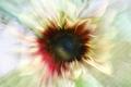 Americká slunečnice