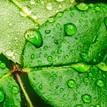 zelena sviezost