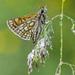 Motýľ perlovec
