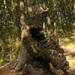 socha lesa