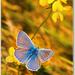 Motýl Modráčik