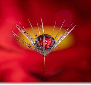 Na semienku púpavy