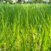 Jarna trava