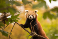 Panda Červena