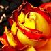 Uväznená ruža