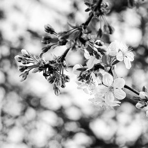 Kvitnúca čerešňa