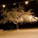 Suger Tree II.