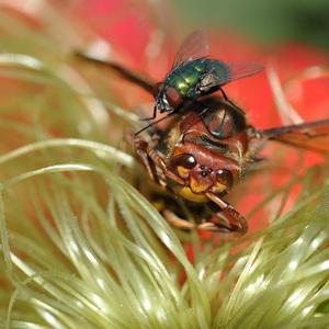 sršeň vs mucha