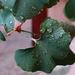 Ranná rosa