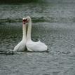 Zamilované labute