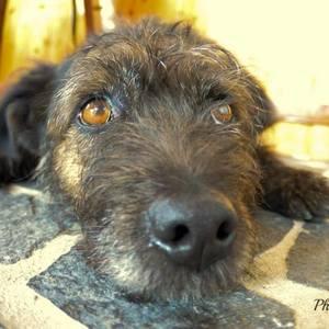 Psie oči