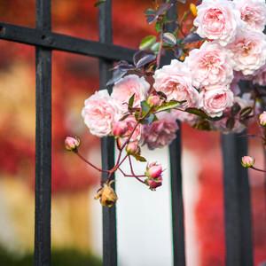 Jesenné ruže