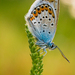 Cupido argiades - modráčik