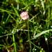 ružová margarétka