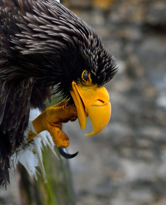 orliak bielokrídly 2