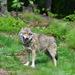 Vlk - zívam