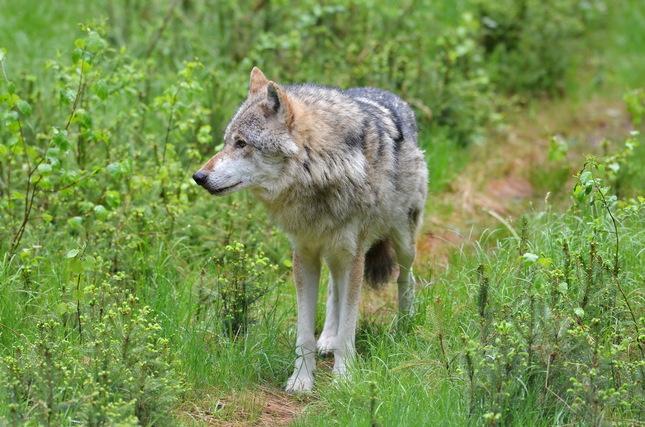 Vlk 1