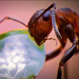 Mravec lesný...