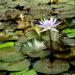 plavajuci kvet