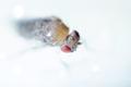 Muška vinnná-Drosophila melanoga