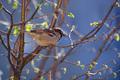 Vrabček