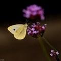 Motyli olovrant
