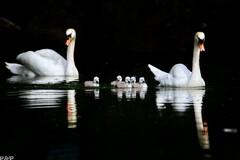 Labutia rodinka