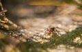 Maľovaný mravček