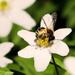 Včielka