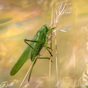 Kobylka zelena