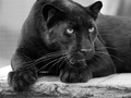 Leopard škvrnitý (čierny)
