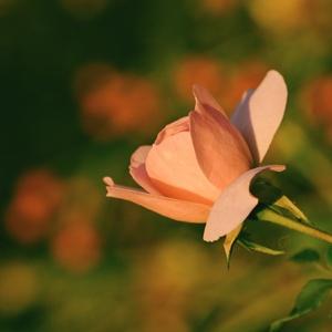 Šípková ruža