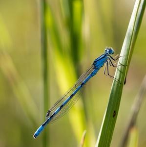 Modré šidielko