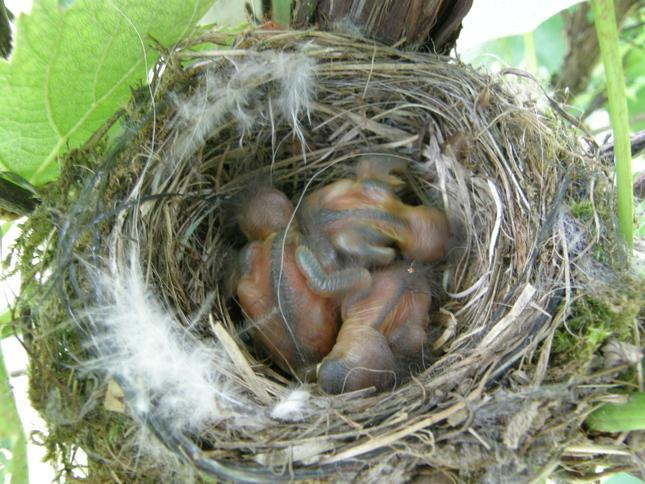 Vtáčia mlaď