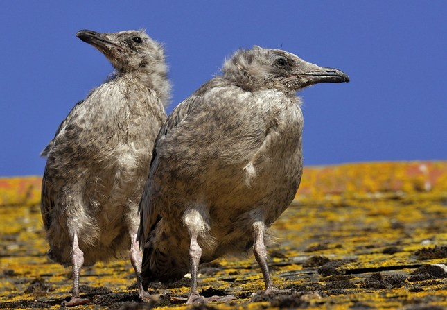 Young Seagulls
