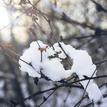 Sniežik
