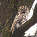sova lesná (lat. Strix aluco)