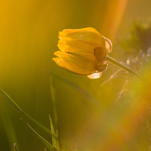 Hlaváčik jarný (Adonis vernalis)