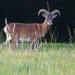 Muflón lesný (Ovis musimon)