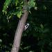 Ďateľ malý (Dendrocopos minor)