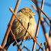 Vrabčica