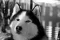 Siberian Husky II  - Breki