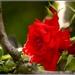 ..ruža...