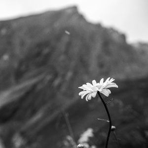 Flower and Grossglockner