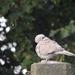 holub na cintoríne