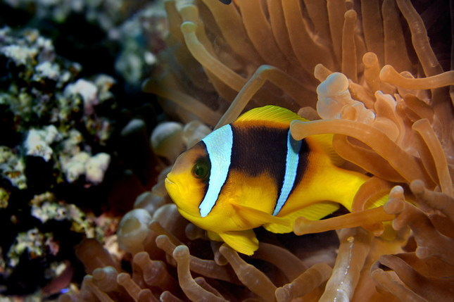 klaun fish