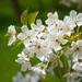 Kvitnúca višňa