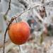 Mráz a jablko